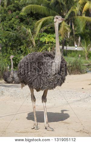 Beautiful big African ostrich in zoo close up