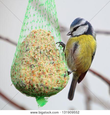 Bird - Blue Tit on a tree wildlife
