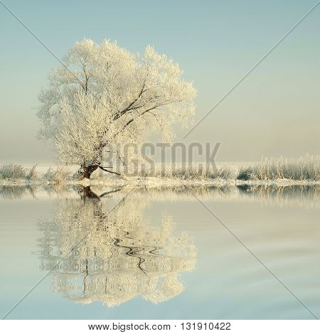 Winter tree covered with frost beside a river