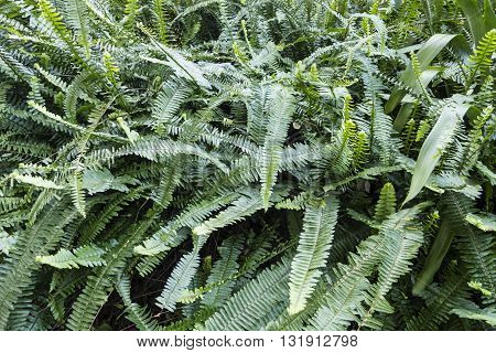 bush of green fern leaves in full growth