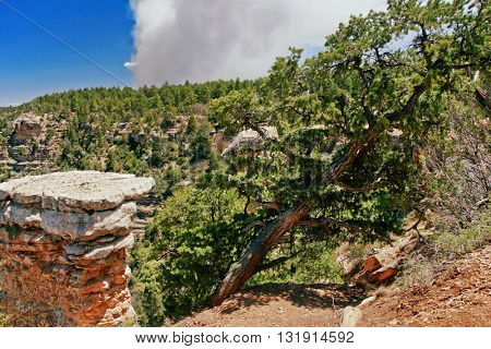Tree with view on Grand Canyon background