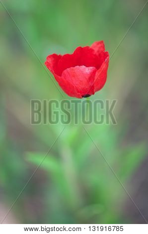Poopy, Macro photo of opened with red poppies in the spring