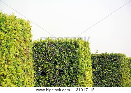 Square shaped bushes in a park on a sunny summer day
