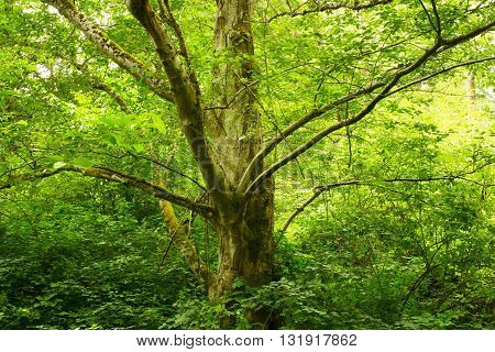 a picture of an exterior Pacific Northwest forest with a Alder tree
