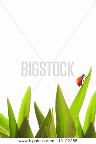 Small ladybug on green grass isolated on white