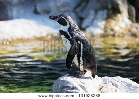 Penguin Humboldt on rock. One penguin stands on stone