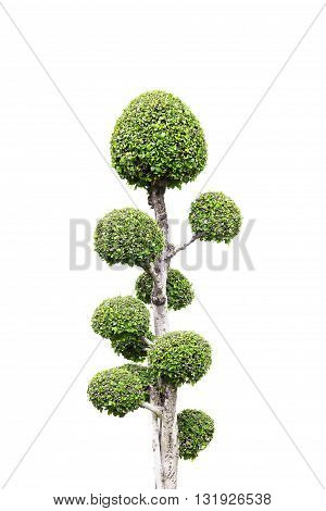 bonsai banyan tree with white background general decoration in the traditional garden
