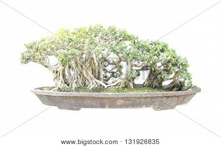 bonsai banyan tree with white backgroundgeneral decoration in the traditional gardengreen bonsai banyan tree with a white background