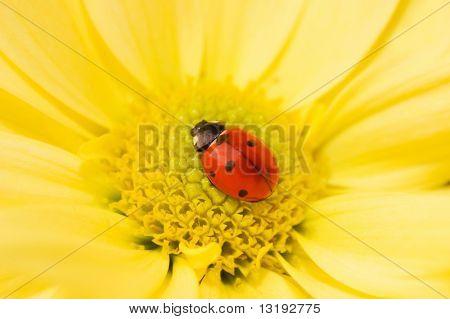 Little ladybug sleeping on yellow flower