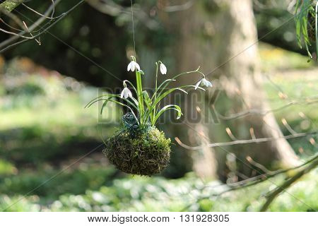 Snowdrop Flowers Hanging in a Moss Filled Net.