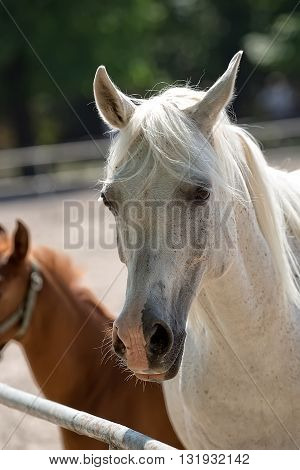 White horse in a clearing, a portrait