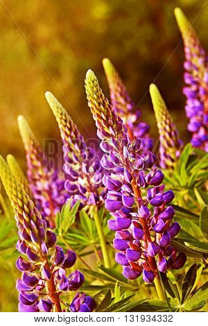 Lila lupines flower on the sunny meadow