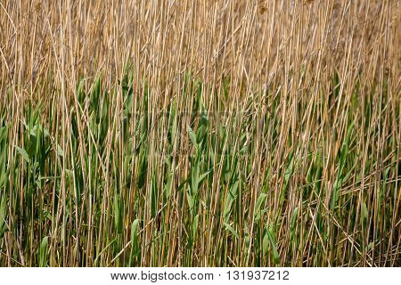 Reeds At The Pond Background