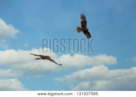 The Western Marsh Harrier Male And Female