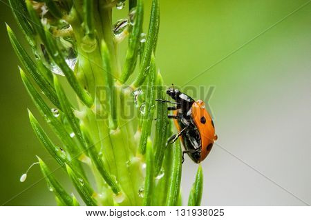 Macro photography of ladybird. Nature close up.