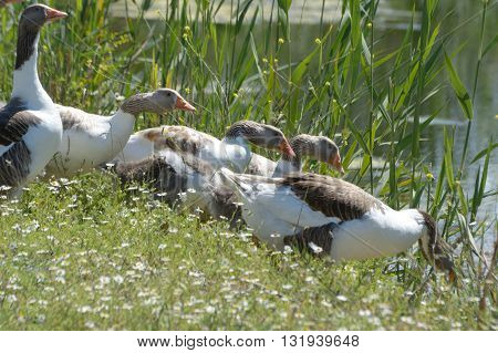 Group of goose walking into the water amoung tall grass