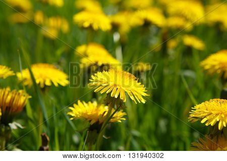 Yellow flowers dandelions close. Rural view of flower meadow. Pastoral panorama of nature summer. Beautiful landscape of a Sunny day. Field with yellow dandelions.