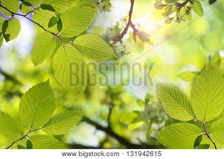 Summer Green Maple Leaf Background