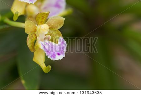 Wildflower orchidOrchids ChangkraRhynchostylist gigantea.Beautiful wild flower orchids.wild tropical orchids.wild orchid