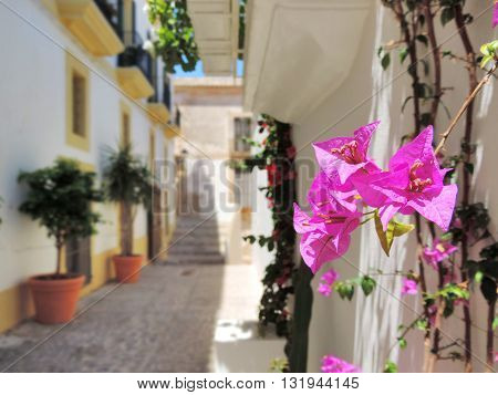 Dalt Vila, Ibiza Town. Focus on a bougainvillea flower