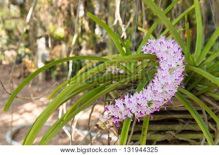 Wildflower orchidOrchids ChangkraRhynchostylist gigantea.Wildflower orchidOrchids ChangkraRhynchostylist gigantea.Beautiful wild flower orchids.wild tropical orchids.wild orchid
