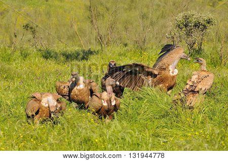 Five Eurasian Griffons On Grass