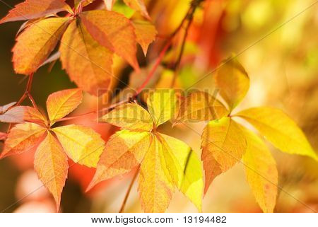 Autumn leaves on abstract blurred background (very shallow DoF, focus on the first leaf)