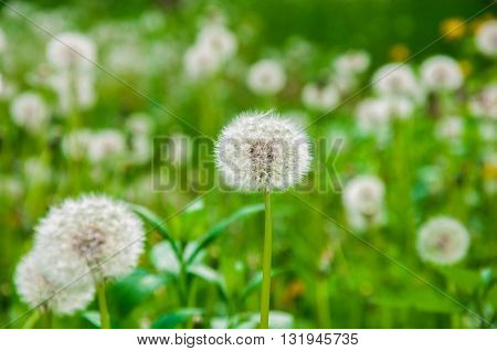 Ripened Dandelion Closeup