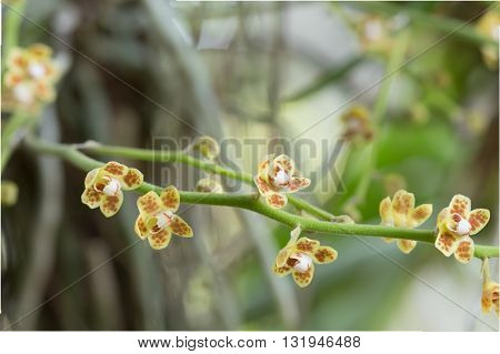Beautiful wild flower orchidChiloschista..wild tropical orchids.wild orchid