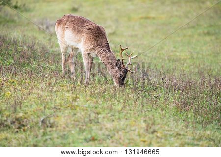 Grazing roe deer in field in early morning