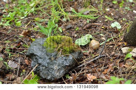 Snail on wet ground after rain by a stone in forest