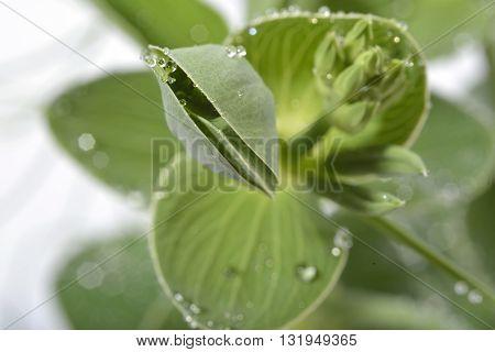 Waterdrops On Lathyrus Leaf