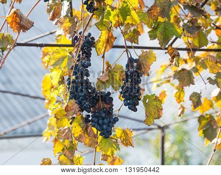 ripe grapes on the vine in autumn