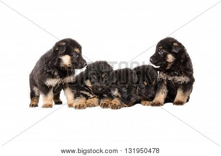 German Shepherd puppies isolated on white background