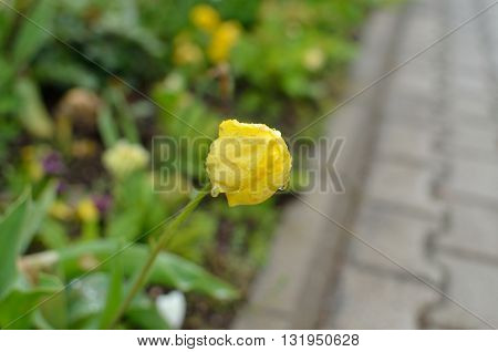 Bud of yellow tulip in garden with raindrops and blurred grass in background