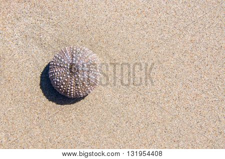 Overhead view of purple sea urchin skeleton on a pristine sand background.