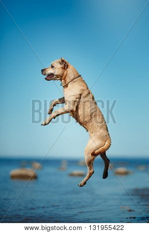 Dog Breed American Staffordshire Terrier Walking, Summer
