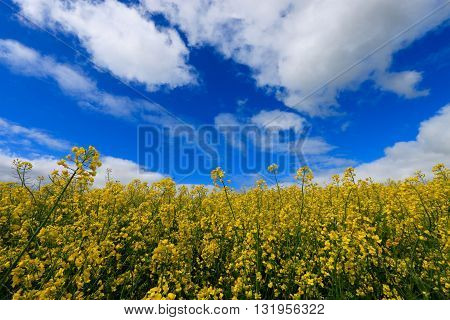 FIELD OF COLZA IN THE SOMME , FRANCE