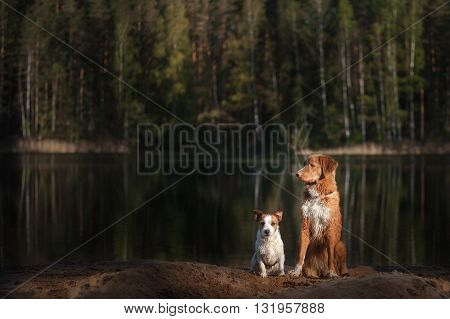 Dog Jack Russell Terrier Walking And Dog Nova Scotia Duck Tolling Retriever