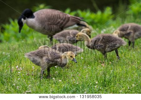 Young Geese Search For Food in green meadow