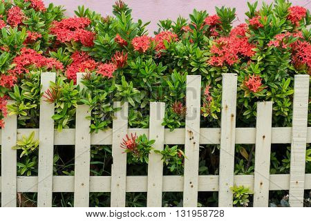Ixora plants in Pot front of the house
