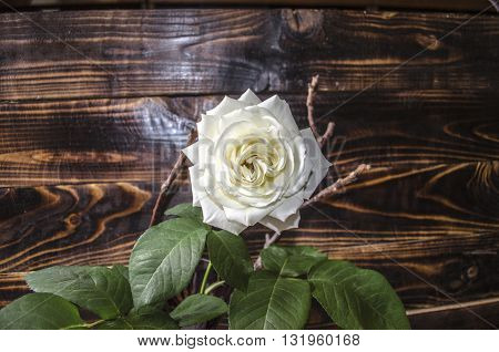 One  white rose on  background  from dark boards