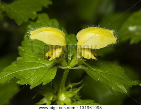 Yellow archangel or artillery plant Lamium Galeobdolon flowers and leaves close-up selective focus shallow DOF