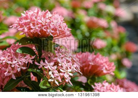 beautiful pink Ixora plants in garden with blur nature background