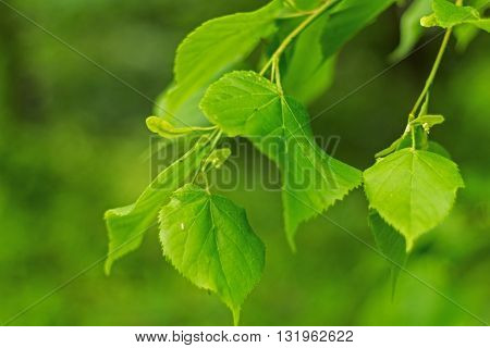Beautiful green leaf with foliage on green background