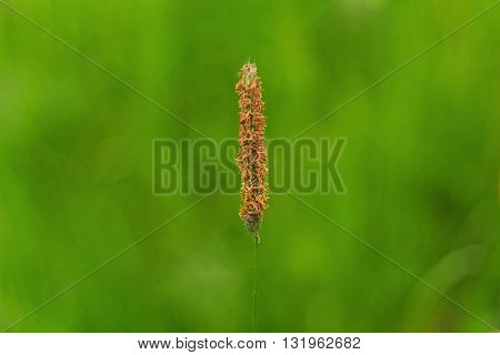isolated natural brown flower on green background
