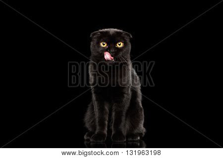 Black Scottish Fold Cat with Yellow eyes Sitting and Licked Isolated on Black Background Front view
