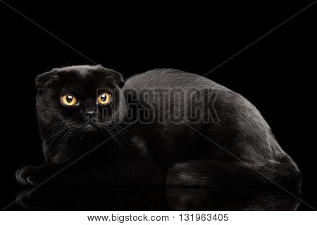 Black Scottish Fold Cat with Yellow eyes Lying on Mirror Isolated on Black Background Side view