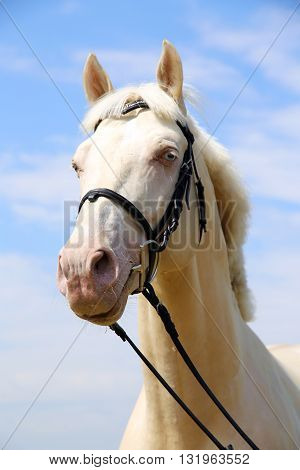 Side View Portrait Of A Young Cremello Stallion