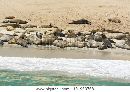 A colony of sea lions sun bathing on the shore of Santa Rosa Island at the Channel Islands of California